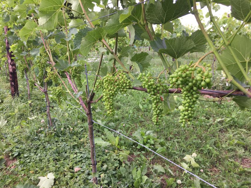 De druiventrossen krijgen vorm.