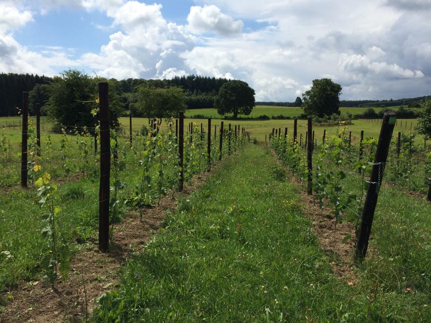 Eindelijk een mooie wijngaard